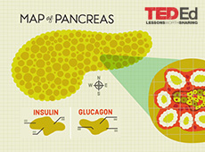 What does the pancreas do?